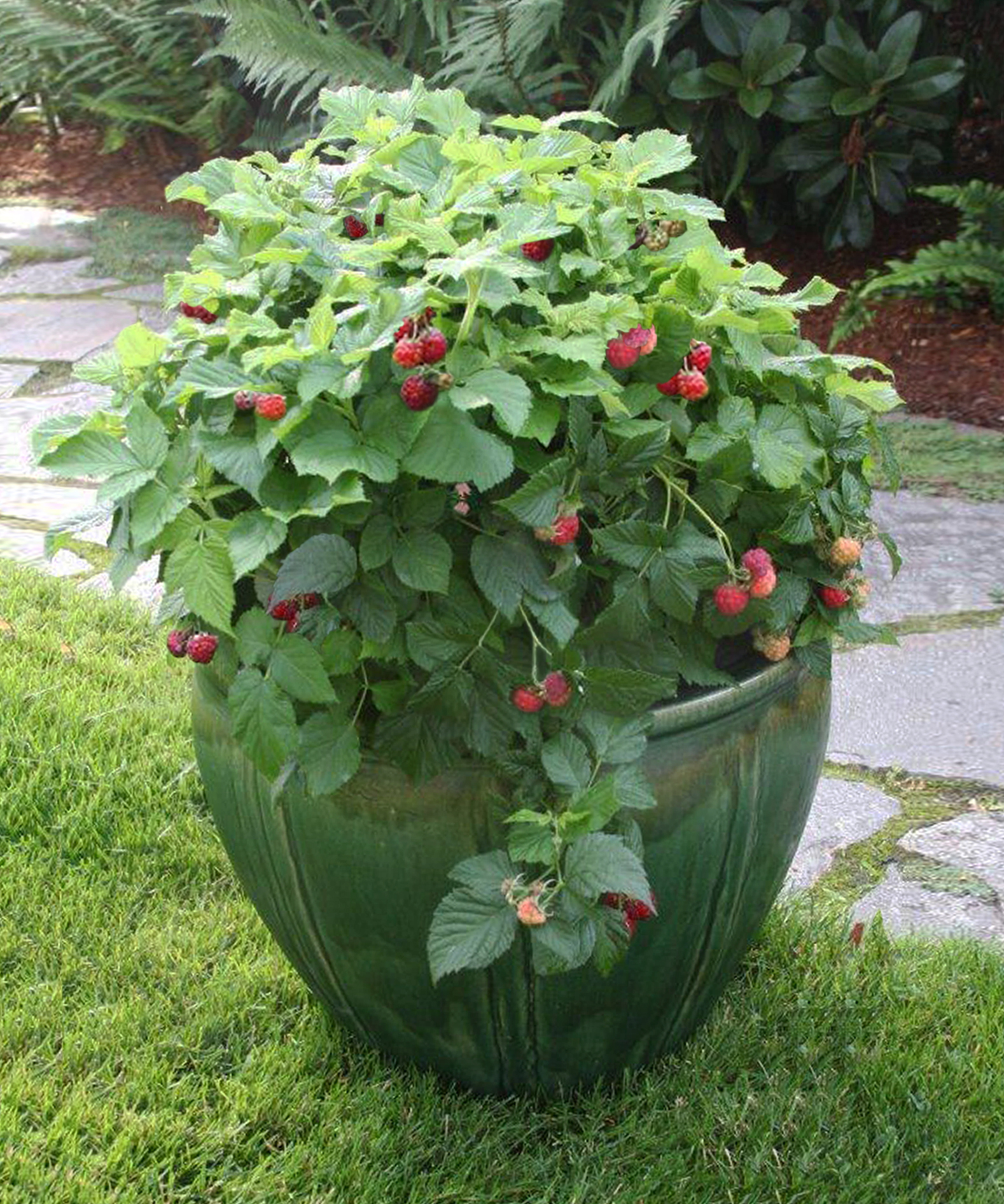 tips for growing berry shrubs in small spaces from fall. Black Bedroom Furniture Sets. Home Design Ideas