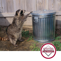 raccoon infestation on residential property