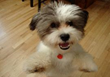 Royal Flush Havanese Reviews Tips on Proper Dental Care For Canines