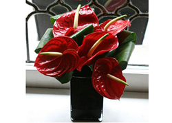 Anthurium plants Anthurium flowers an Anthurium flower plants delivery UK London by top UK florists and same day flowers delivery shop. UK gift