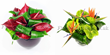 Flowers London. Anthurium plants Anthurium flowers an Anthurium flower plants delivery UK London by top UK florists and same day flowers UK