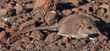 Rare Sengi Species Discovered in Southern Africa