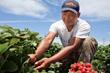 California Strawberry Farmers Grow the American Dream While They...