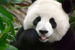 Panda Facts Website Launches to Feature the Endangered Pandas
