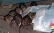 Riffraff, Street Rats…Spot That Rat! Ways to Detect a Rat Infestation