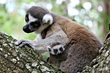 Ring-tailed Lemur Infants Born At Lemur Conservation Foundation
