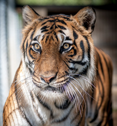 Bengal tigers are facing extinction in nature and in captivity
