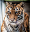 Feline Conservation Federation: Committee Should Axe the Big Cats and...