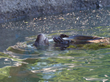 Wyatt, River Otter, Enjoying Pool