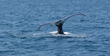 Whale watching is very popular in the Turks & Caicos during the winter month.