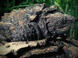 Audubon Nature Institute Alligator Snapping Turtle