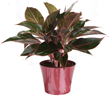 Red Aglaonema from Costa Farms®