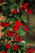 Sun Parasol® Red Emperor from Suntory® Flowers