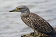 Beautiful Herons Become Pest Birds in New York