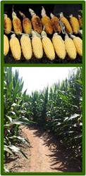 Corn Roast and Corn Maze
