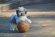 Royal Flush Havanese Reviews Small Dog Syndrome and the Dangers of...