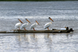 Montanas Missouri River Country pelicans bird watching