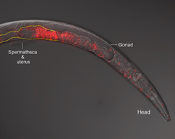 An instance of cross-species breeding gone awry: fluorescence microscopy reveals sperm, in red, invading a female worm's body. Credit: Gavin Woodruff
