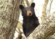 The Ultimate Smoky Mountain Bear Safety Guide Released by Jackson...