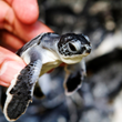 Royal Resorts Protects Sea Turtles In Cancun, Mexico
