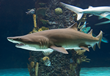 Newport Aquarium Gears Up for Shark Week