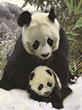 Pandas Travel to The Dome at the Science Museum of Virginia