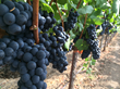 The grapes for sparkling wine are always picked first.