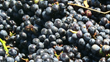 Beautiful Napa Valley Pinot Noir grapes will become sparkling wine.