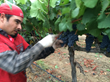 Harvesting Napa Valley Pinot Noir grapes by hand at 30 clusters per second.