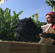 Highly skilled farm workers pick up to five tons of grapes per work shift.