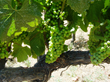 Sauvignon Blanc thrives in Napa Valley