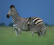 Website Zebra Facts Published to Publicize Information About the Lives...