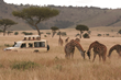 Micato Safaris and Giraffe in the Maasai Mara