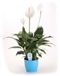 Peace lilies are common, easy to care for houseplants