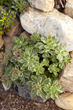 Sedum is the perfect groundcover solution for hot, sunny locations where most plants would wilt or die.