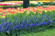 Participants can enter to win bags of popular fall flower bulb varieties, such as this perfect pair of Suncatcher tulips and Muscari Armeniacum.