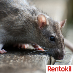 r4ats and mice, rat control, rodent control, get rid of rats, rats in alexandra, kill rats