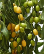 Neem Tree Fruit Before Harvest