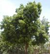 Neem Tree - Azadirachta indica