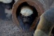 Naples Zoo is home to the fierce honey badgers - seen at only four zoos in the United States.
