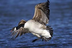 Goose, Geese, Canada goose, Canada geese