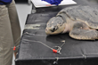 Join the South Carolina Aquarium for One of the Last Public Sea Turtle...