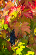 Autumn grape leaves in California's Napa Valley