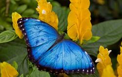 Callaway Gardens Blue Morpho Butterfly
