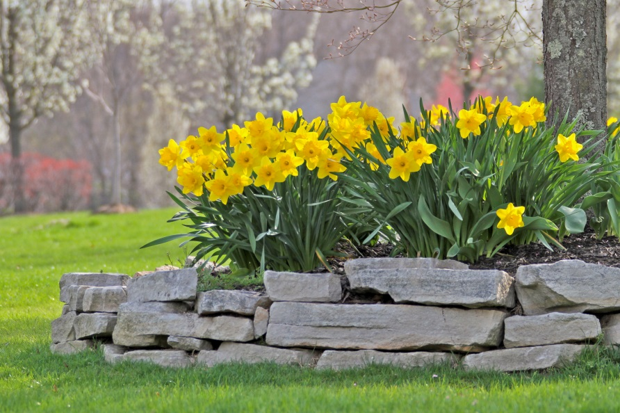 Trumpet Daffodil Comma...