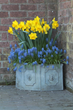 Muscari's miniature bells stands boldly next to the Trumpet daffodil and blooms at the same time