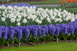 Hyacinth flowers also make a splash in the garden when paired with snow white Trumpet daffodils.
