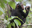 Chimpanzee Maimed by Snare
