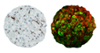 Enhanced Sensitivity of InSphero 3D Liver Microtissues Highlighted at...