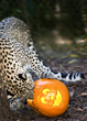 "Naples Zoo's Wild Animals ""Carve"" Pumpkins during BOO at..."